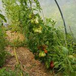 Tomates_3
